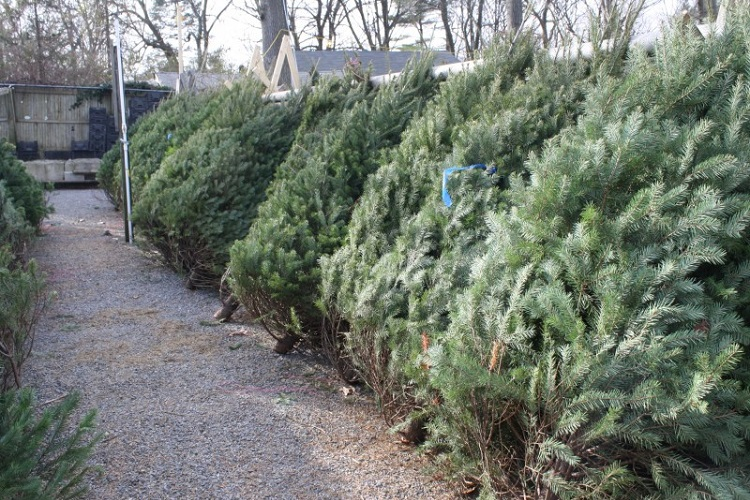 free christmas tree recycling