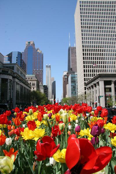 tulips-on-mag-mile
